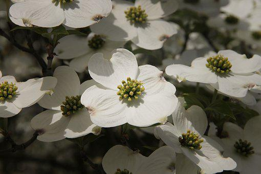Dogwood, Cornus, Dogwood Greenhouse, Plant, Bush, Wood