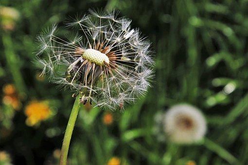Dandelion, Spring, Nature, Plant, Flower, Summer, Lawn