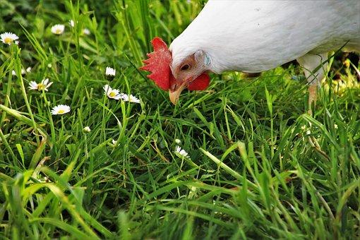 Lawn, Nature, Farm, Birds, Beak, Pen