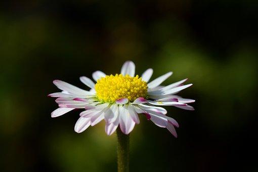 Daisy, Small, White, Flower, Blossom