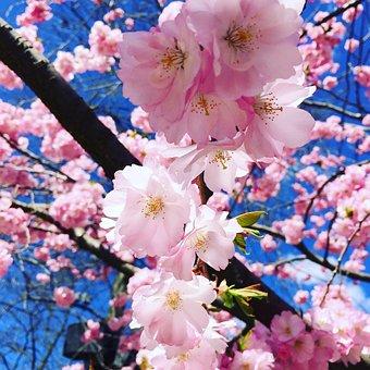 Flower, Cherry Wood, Tree, Flowers, Flourishing Tree