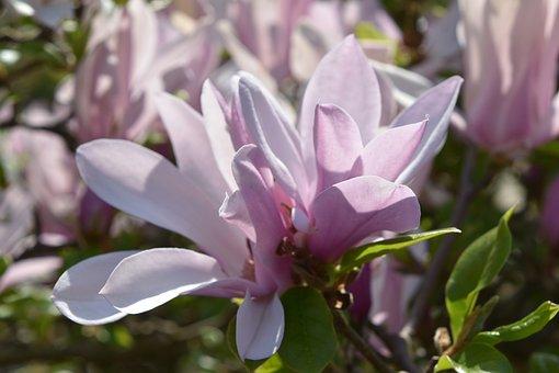 Flower, Plant, Nature, Leaf, Garden, Magnolia, Petal