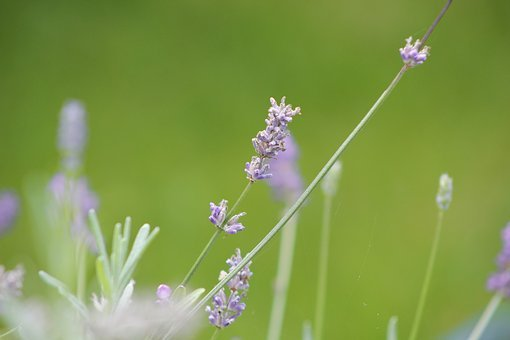 Nature, Plant, Flower, Summer, Leaf, Lavender