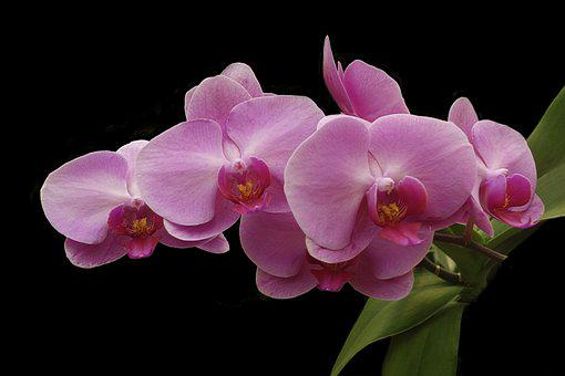 Orchid, Flower, Tropical, Botanical, Pink