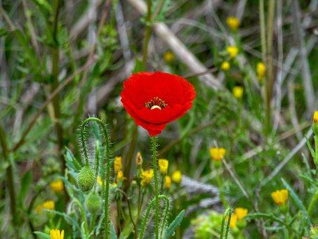 Poppy, Nature, Flower, Plant, Summer, Wild Flower