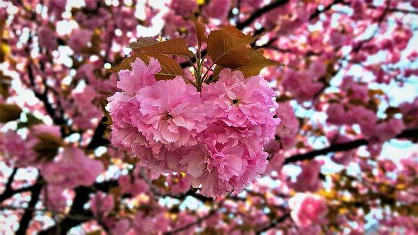 Fold Cherry, King Triple Cherry, Cherry Tree