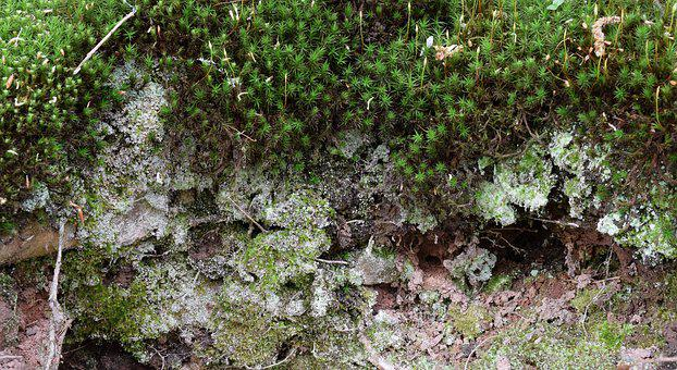 Moss, Forest Area, Forest, Bemoost, Plant, Fouling