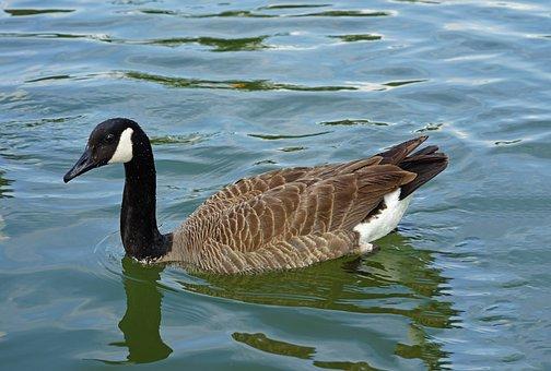 Bird, Nature, Water, Pool, Duck, Wildlife, Lake, Goose