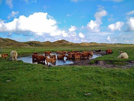 Highland Beef, Highland Cattle, Grass, Dunes, Landscape