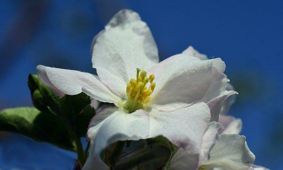 Apple Blossom, Macro, Close, White, Tender, Spring