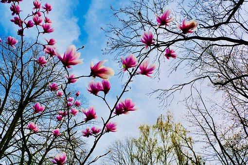 Magnolia, Pink Flower, Magnolia Tree, Tree, Season