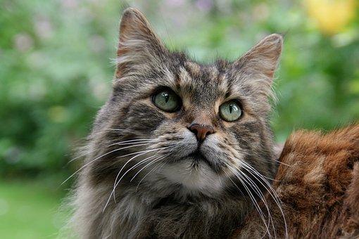 Maine Coon, Cat, Animal Portrait, Cat Face