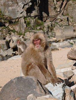 Monkey, Mammal, Wildlife, Primate
