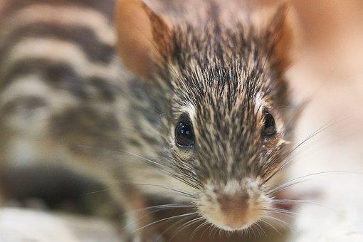 Mouse, Strip Animal, Cute, Mammal, Nature