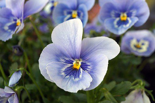 Flower, Plant, Nature, Garden, Leaf, Pansy, Close