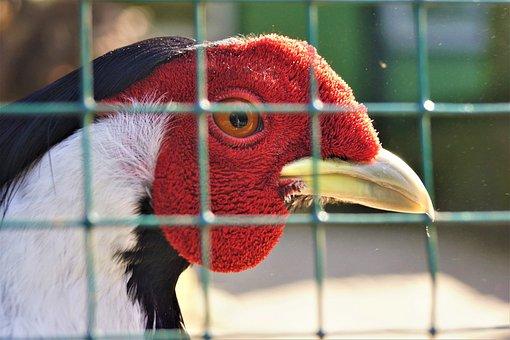 Bird, Nature, Portrait, Animal, Feather, Turkey, Grid