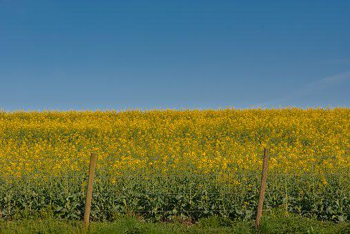 Landscape, Field, Agro-industry, Nature, Sky, Rapeseed