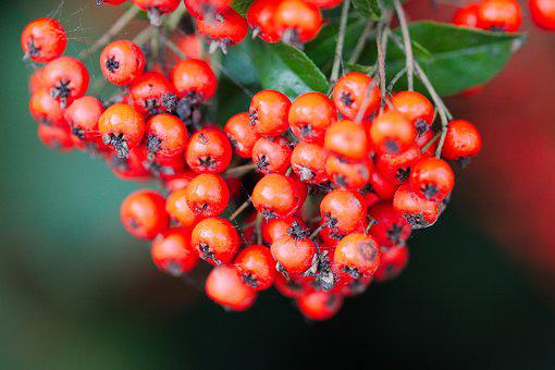 Nature, Fruit, Berry, Rowan, Leaf, Tree, Summer, Bush