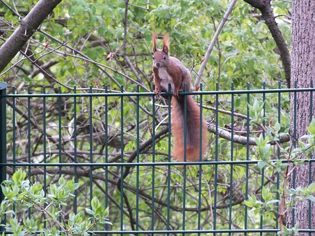 Squirrel, Fence, Nature, Animal World