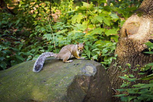 Squirrel, Stone, Rock, New York, Central Park, Nature