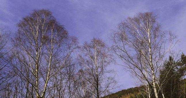 Birch, Sky, Spring, Panorama, Forest, Palatinate Forest