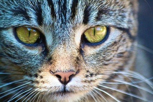 Portrait, Animal, Cat, Mammal, Head, Pet, Nature, Face
