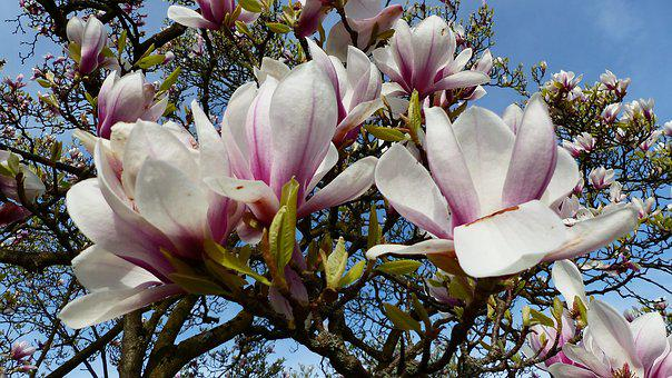 Flower, Magnolia, Plant, Nature, Garden, Petal
