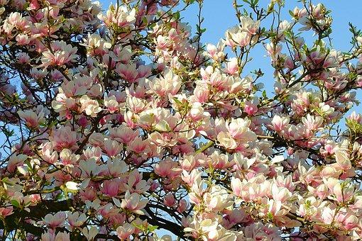 Magnolia Flower, Spring, Pink