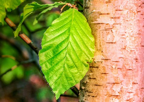 Leaf, Nature, Plant, Birch, Birch Leaf, Deciduous Tree