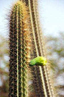 Cactus, Flower, Flower Bud, Mamillaria, Plant, Sharp