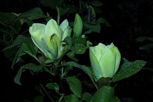 Magnolia, Yellow Flower, Flower, Plant, Leaf, Nature