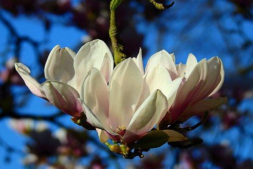 Flower, Magnolia, Plant, Nature