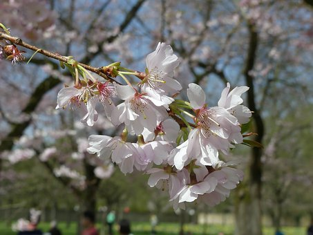 Flower, Tree, Plant, Cherry Wood, Spring, Flowers