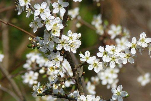 Tree, Plant, Nature, Petal, Cherry Wood