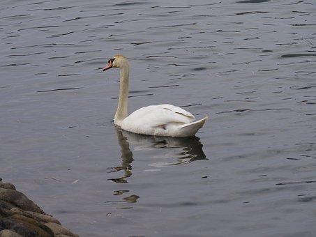 Bird, Swan, Waters, Lake, Waterfowl, Pond