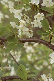 Flowers, Cherry, Sakura, Tree, Nature, Plant, Flower