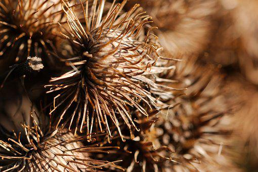 Nature, Cone, Needle, Sharp, Dry, Winter, Plant, Seeds