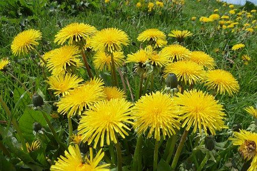 Flower, Plant, Nature, Summer, Garden, Grass, Dandelion