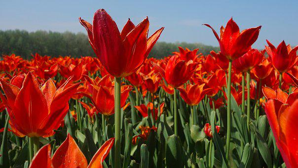 Tulips, Bulbs, Tulip, Spring, Bulb, Holland