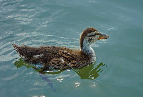 Nature, Wildlife, Bird, Animal, Water, Duck, Pool, Lake
