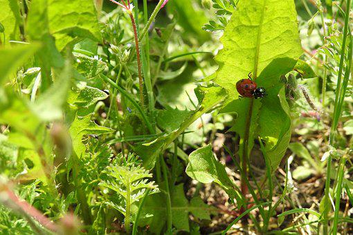 Leaf, Plant, Nature, Eating, Garden, Ladybug, Anemone