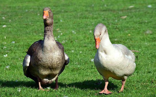 Goose, Duck, Bird, Poultry, Animal, Bio, Meadow