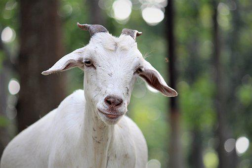 Nature, Outdoors, Animal, Portrait, Mammal, Farm, Goat