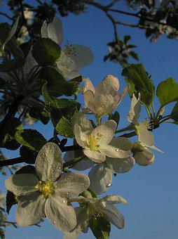 Spring, Flowers, Apple Tree, A Branch, Nature