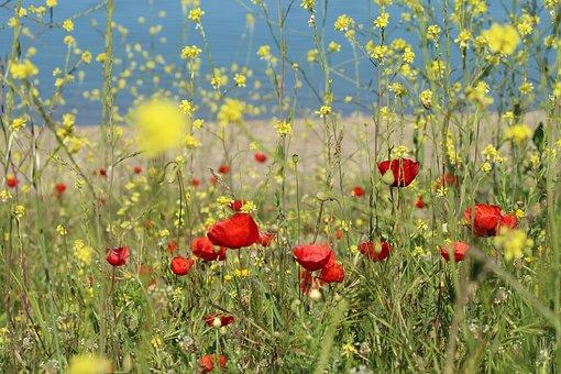 Gelincilk, Flower, Area, Chan, Nature, Plant