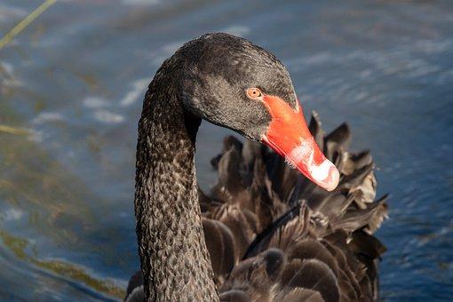 Swan, Black Swan, Bird, Wildlife, Nature, Water, Pool