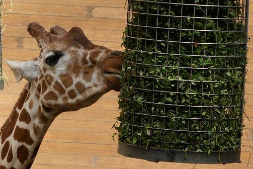 Giraffe, Green Feeds, Zoo, Blijdorp, Rotterdam, Nature