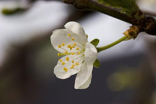 Flower, Branch, Three, Plum, Victoria