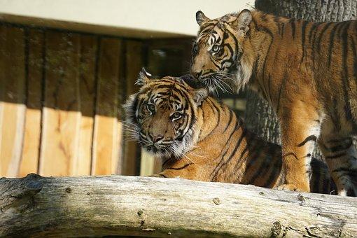 Sumatran Tiger, Cat, Tiger, Big Cat, Predator, Zoo