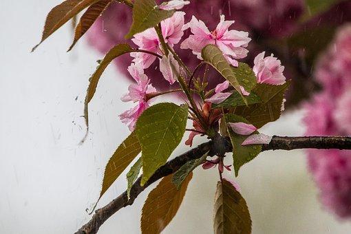 Cherry Blossom In The Rain, Cherry Blossom, Cherry